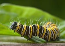 Östlicher schwarzer Swallowtail-Schmetterling Caterpillar Lizenzfreie Stockfotografie