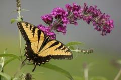 Östlicher Tiger Swallowtail Lizenzfreie Stockfotos