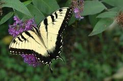 Östlicher Tiger Swallowtail (Papilio glaucus) Lizenzfreie Stockfotografie