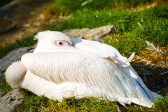 Östlicher weißer Pelikan stockfotos