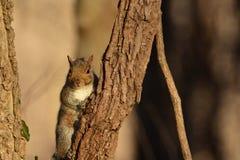 Östliches Grau-Eichhörnchen Lizenzfreies Stockfoto
