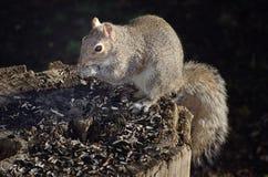 Östliches Grau-Eichhörnchen Lizenzfreie Stockfotos