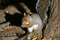 Östliches Grau-Eichhörnchen Lizenzfreies Stockbild