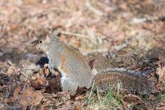 Östliches Grau-Eichhörnchen Lizenzfreie Stockfotografie