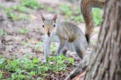 Östliches Grau-Eichhörnchen Stockfoto