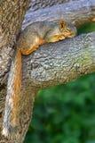 Östliches Grau-Eichhörnchen (Scirurs carolinensis) Stockfoto