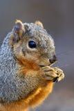 Östliches Grau-Eichhörnchen (Sciurus) Lizenzfreie Stockfotografie