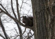Östliches schwarzes Eichhörnchen auf Baum in Bronx NY im Winter stockfoto