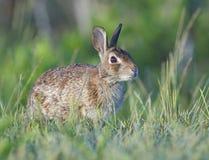 Östliches Waldkaninchen-Kaninchen Stockfotografie