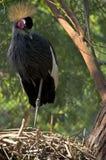 Östlig afrikan som krönas kran Arkivfoto