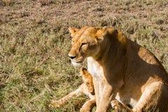 Östlig afrikansk lejoninna med lejongröngölingar & x28; Pantheraleo melanochaita& x29; Royaltyfria Bilder