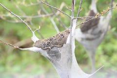 Östlig americanum för tältCaterpillar Malacosoma Royaltyfria Bilder