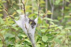 Östlig americanum för tältCaterpillar Malacosoma Arkivbild
