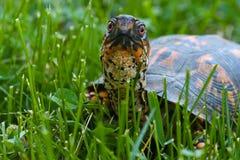 Östlig ask för sköldpadda Royaltyfri Bild