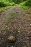 östlig banasköldpadda för ask royaltyfri bild