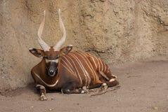 Östlig Bongo - Tragelaphuseurycerusisaaci Royaltyfri Foto