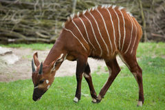 Östlig bongo (Tragelaphuseurycerusisaacien) Royaltyfri Bild