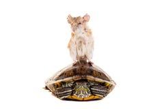 Östlig eller arabisk taggig mus, Acomys dimidiatus Royaltyfri Fotografi