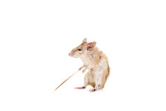 Östlig eller arabisk taggig mus, Acomys dimidiatus Fotografering för Bildbyråer