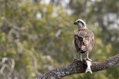 Östlig fiskgjuse (Pandioncristatusen) - en australisk fågel av rovet Arkivbilder