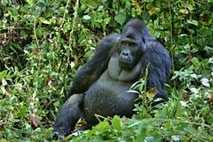 Östlig gorilla i skönheten av den afrikanska djungeln Royaltyfri Foto