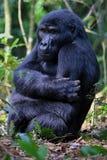 Östlig gorilla i skönheten av den afrikanska djungeln Arkivbilder