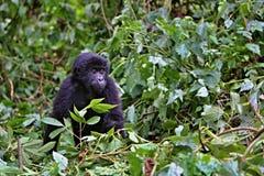 Östlig gorilla i skönheten av den afrikanska djungeln Royaltyfria Foton
