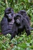 Östlig gorilla i skönheten av den afrikanska djungeln Arkivfoton