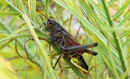 östlig gräshoppalubber Royaltyfria Foton