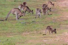 östlig grå känguru Arkivbild