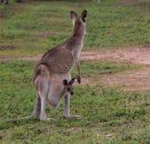 östlig grå känguru Royaltyfri Bild