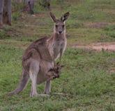 östlig grå känguru Royaltyfria Foton