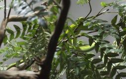 Östlig grön Mamba Royaltyfri Foto