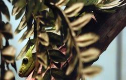 Östlig grön Mamba Arkivfoto