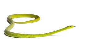 östlig grön mamba för angusticepsdendroaspis Arkivbild