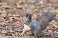Östlig Gray Squirrel Sciurus carolinensisstående Arkivfoton