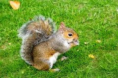 Östlig Grey Squirrel (Sciuruscarolinensis) St James Park London som äter ett stycke av äpplet Royaltyfri Foto