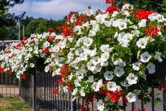 ÖSTLIG GRINSTEAD, VÄSTRA SUSSEX/UK - JULI 23: Östliga Grinstead i Blo Royaltyfria Bilder