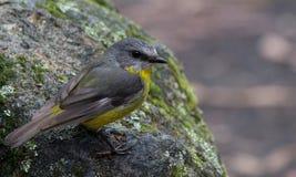Östlig gul Robin Australian infödingfågel royaltyfri bild