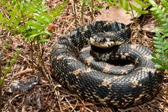 Östlig Hognose orm Arkivfoton