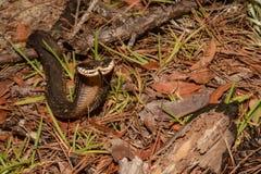 Östlig Hognose orm Fotografering för Bildbyråer