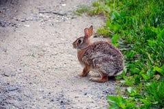 östlig kanin för bomullssvanskanin Arkivbilder