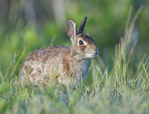 östlig kanin för bomullssvanskanin Arkivbild