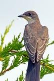 Östlig Kingbird Royaltyfria Bilder