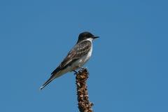 östlig kingbird Arkivfoton