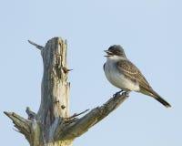 Östlig Kingbird som sätta sig på en lem Royaltyfria Bilder