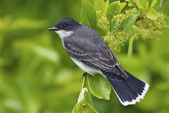 Östlig Kingbird (Tyrannustyrannusen) Royaltyfri Fotografi