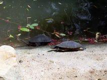 östlig lång hånglad sköldpadda Arkivfoto
