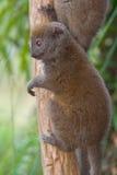 östlig lemur för bambu mindre Arkivfoto