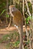 östlig lemur för bambu mindre Fotografering för Bildbyråer